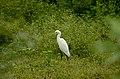 Eastern Cattle Egret (Bubulcus coromandus) from sathanur perambalur JEG2891 .jpg