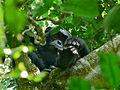 Eastern Chimpanzee (Pan troglodytes schweinfurthii) (17963708262).jpg