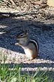 Eastern Chipmunk (Tamias striatus) - Guelph, Ontario.jpg
