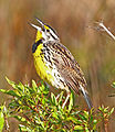 Eastern Meadowlark, Kissimmee, Florida 1.jpg
