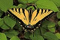 Eastern Tiger Swallowtail - Papilio glaucus, Jones Preserve, Rappahannock County, Virginia (34300653532).jpg