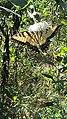 Eastern Tiger Swallowtail butterfly Eno River Hillsborough NC 103012 (30643774350).jpg