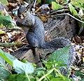 Eastern gray squirrel (Sciurus carolinensis)2.jpg