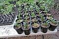 Echinacea purpurea IMG 4818.jpg