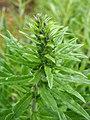 Echium vulgare Żmijowiec zwyczajny 2020-06-07 05.jpg