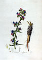 Echium vulgare — Flora Batava — Volume v3.jpg