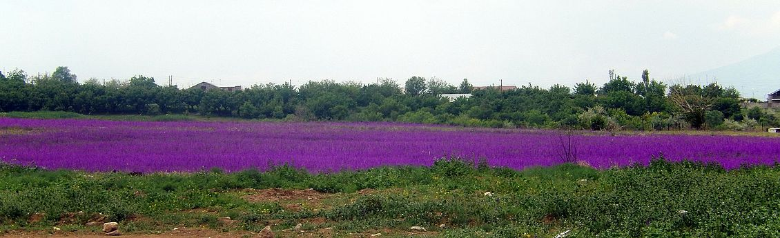Echium vulgare in Ararat Valley (2).jpg