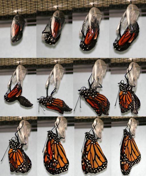 Eclosing Monarch, Megan McCarty118