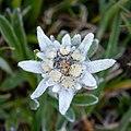 Edelweiss Elsighorn 2.jpg