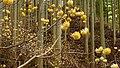 Edgeworthia chrysantha 0256.jpg