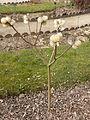 Edgeworthia tomentosa in Jardin des Plantes 01.JPG