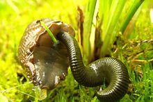 A leech attacking a slug's underside