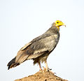 Egyptian Vulture Juvenile (7232917012).jpg