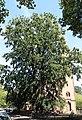 Eiche vor Garnisonskirche Celle 7549.jpg