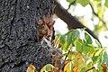 Eichhörnchen (Sciurus vulgaris) Konstantinhügel Wiener Prater 2020-07-12 g.jpg