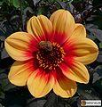 Einfache-Dahlie-mignon-Sunshine-Botanik-De.jpg