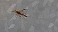 Eintagsfliege Heptagenia flava 0204 b.jpg