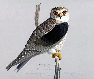 Elaninae - Elanus caeruleus