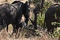 Elephant, Ruaha National Park (11) (28112234563).jpg