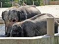 Em - Elephas maximus - 13.jpg