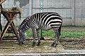 Em - Equus quagga - 1.jpg