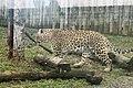Em - Panthera pardus - 7.jpg