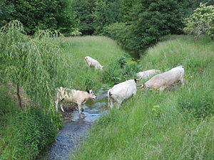 "White Park cattle - Since 2011, White Park cattle have been grazing in the nature reserve ""Karower Teiche"" in the northeast of Berlin, Germany."