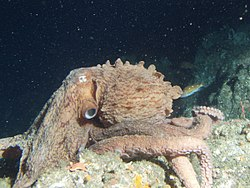 Une pieuvre géante du Pacifique, en Californie