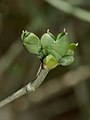 Ephedra foliata 1.jpg