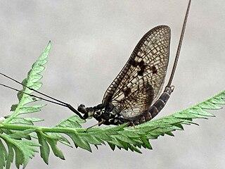 <i>Ephemera vulgata</i> species of insect