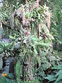 Epiphyte plants in greenhouse of the Jardin des Plantes de Paris.jpg