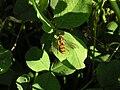 Episyrphus balteatus on Trifolium sp.jpg