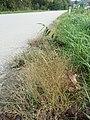 Eragrostis pilosa sl95.jpg