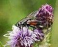 Eriothrix rufomaculata Tachinidae (38896185575).jpg