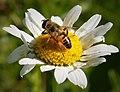 Eristalis. species hoverfly (29993952717).jpg