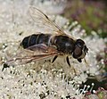 Eristalis pertinax (female) - Flickr - S. Rae (2).jpg