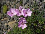 Erodium absinthoides 1.JPG