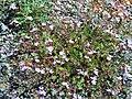 Erodium cicutarium Habitus DehesaBoyaldePuertollano.jpg