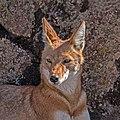 Ethiopian wolf (Canis simensis citernii) head.jpg
