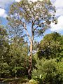 Eucalyptus nova-anglica.jpg