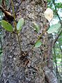 Eucalyptus squamosa Glenhaven.jpg