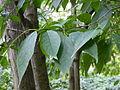 Eucommia ulmoides-Jardin des plantes 03.JPG