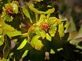 Euphorbia (10423414425).jpg