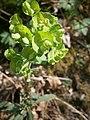 Euphorbia amygdaloides RHu 002.JPG