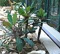 Euphorbia leuconeura Liberec 1.jpg
