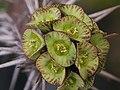 Euphorbia sp. 大戟科 - panoramio.jpg