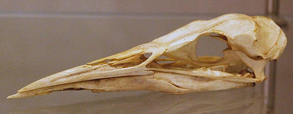 Eurasian Bittern (Botaurus stellaris) skull at the Royal Veterinary College anatomy museum