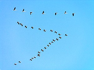 V formation - Eurasian cranes in a V formation.