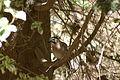 Eurasian Jay - Garrulus glandarius - עורבני (2448831876).jpg