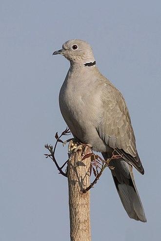 Eurasian collared dove - Image: Eurasian collared dove (Streptopelia decaocto)